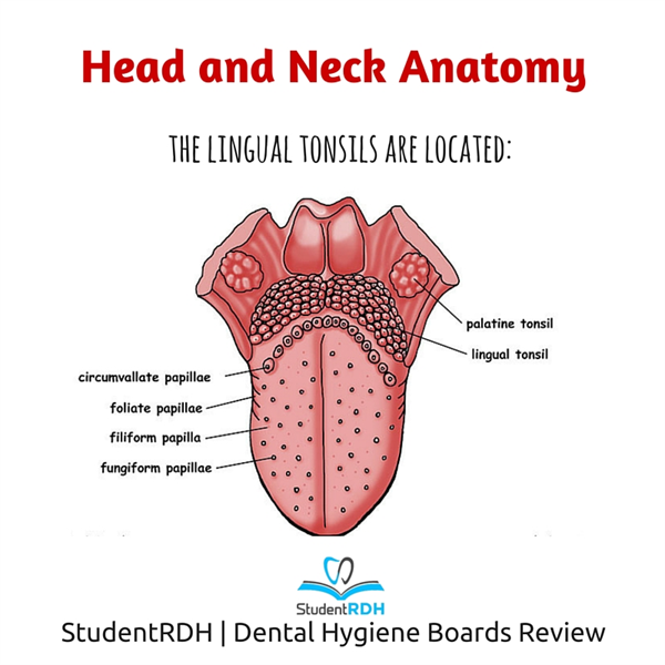 Q Where Are The Lingual Tonsils Located National Dental Hygiene