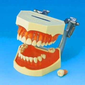 When it Comes to Dental Education In Dentistry Schools Dental Models At Buyamag Inc Play A Major Role in Education Program