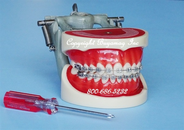 Orthodontic Models Precisely Provided By Buyamag Inc Teaching Manikin In Dental Schools. Models Available are of Class I, II and III Malocclusion, All Teeth With Perfect Morphology